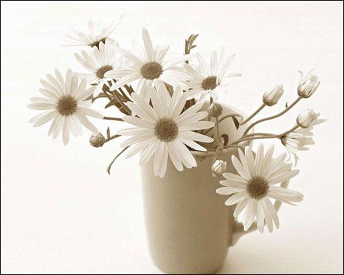 雏菊的花语是什么