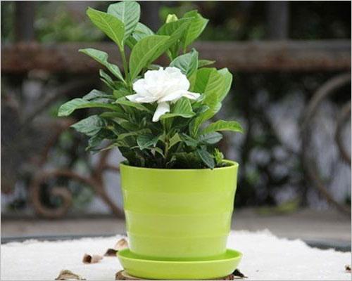 盆栽栀子花的养殖方法和注意事项