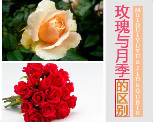 玫瑰与月季的区别
