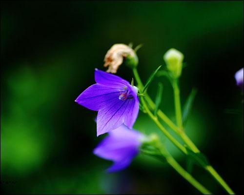 桔梗花的花语